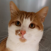 Rescue cat Arthur from Purrs Cat Rescue, Hornchurch, needs a home