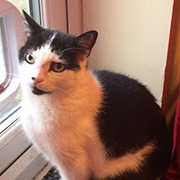 Rescue cat Benny from Poppy's Place, Colchester, Essex, needs a home