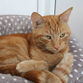 Rescue cat Dexter from RSPCA Milton Keynes and North Bucks, Buckinghamshire, needs a home