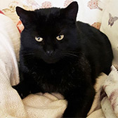 Rescue cat Huggy Bear from Cats Protection Stockport, Cheshire, Lancashire, needs a home