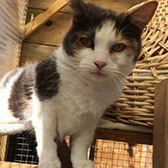 Rescue cat Mabel from RSPCA Milton Keynes and North Bucks, Buckinghamshire, needs a home