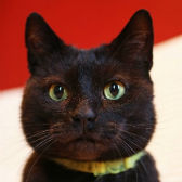 Rescue cat Ollie from Animal Accident Rescue Unit, Nottingham, needs a home