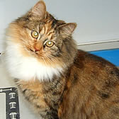 Rescue cat Tilly, from Cats Protection, Harlow, needs a home