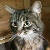 Rescue cat Ruby from Burton Joyce Cat Welfare, Nottingham, needs a home