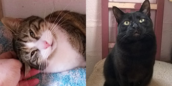 TRescue cats Amy & Troy from Pawprints Cat Rescue, Bradford, West Yorkshire, need a home.