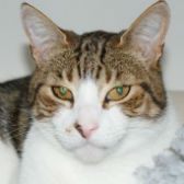 Rescue cat Casey from Midlands Animal Rescue Team, Walsall, needs a home Image title