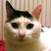 Rescue cat Figgs from 8 Lives Cat Rescue, Sheffield, Derbyshire, South Yorkshire, needs a home