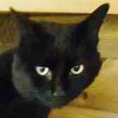 Rescue cat Frog from Rugeley Cats Society, Staffordshire, West Midlands, needs a home
