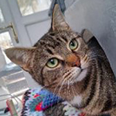 Rescue cat Lulu, at Yorkshire Cat Rescue, needs a new home
