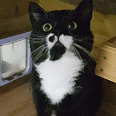 Rescue cat Spot, from Rugeley Cats Society, Staffordshire, needs a home