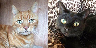 Rescue cats Tiger & Precious from Fur & Feathers Animal Sanctuary, Wythall, West Midlands, Worcestershire, need a home