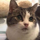 Rescue cat Libby, at Purrs Cat Rescue, Hornchurch, needs a new home in Essex
