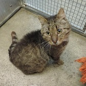 Rescue cat Hoot from National Animal Welfare Trust - Hertfordshire, Watford, needs home