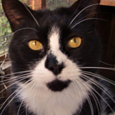 Rescue cat Charlie, from Harlow, Epping Forest & District Cats Protection, needs a home