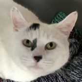 Rescue cat Domino from Cats Protection Bedford, Biggleswade & District, needs a home