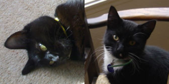 Rescue cats Millie & Frodo from ARC – The Ashmore Rescue for Cats, Wolverhampton, need a home