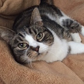 Rescue cat Sassy from Cramar Cat rescue and Sanctuary, Birmingham, West Midlands, needs a home