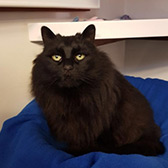 Rescue cat Taylor from Cramar Cat rescue and Sanctuary, Birmingham, West Midlands, needs a home