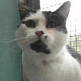 Rescue cat Dottie from RSPCA – Stapeley Grange, Nantwich, needs a home