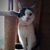 Rescue cat Jasper from Barnsley Animal Rescue Charity (BARC), Barnsley, South Yorkshire, West Yorkshire, needs a home