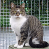Rescue cat Kit, from National Animal Welfare Trust, Clacton, needs a home