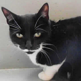 Rescue cat Sally, from RSPCA - Stapeley Grange, Nantwich, needs a home
