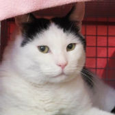 Rescue Cat Snoopy from Blue Cross, Cambridge, needs a home