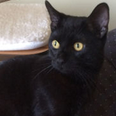 Rescue cat Woody, from Royston Animal Welfare, Barnsley, needs a home