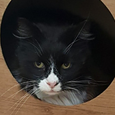 Rescue cat Bandit, at Blue Cross - Cambridge Rehoming Centre, needs a new home