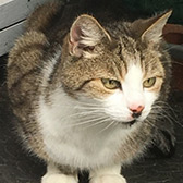 Rescue cat Indy from Kathy's Cat Rescue, The Wirral, Cheshire, Merseyside, needs a home