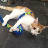 Rescue cat Mango from RSPCA – Macclesfield, South East Cheshire & Buxton, needs a home