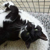 Rescue cat Millie, from Blue Cross - Cambridge Rehoming Centre, needs a home