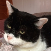 Rescue cat Batman, from the National Animal Trust, Leicester, needs a home