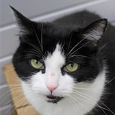 Rescue cat Anneka from TAG Pet Rescue, Margate, East Kent, needs a home