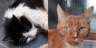 Rescue Cats Roonie & Bubbles, RSPCA - Macclesfield, South East Cheshire & Buxton, Cheshire needs a home