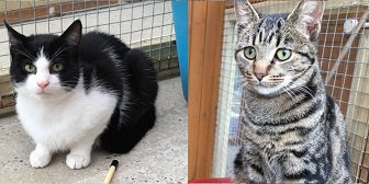 Rescue cats Honey and Albert from RSPCA - Ceredigion, needs home