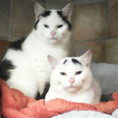 Rescue cats Leonardo and Barney from Kathy's Cat Rescue, The Wirral, Cheshire, Merseyside, need a home
