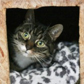 Rescue cat Lily Berrie from Phoenix Cat Trust, Liverpool, needs a home