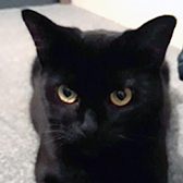 Rescue cat Maisie, at Cat Action Trust 1977 - Leeds, needs a new home