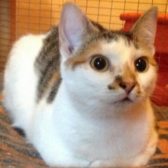 Rescue cat Parvati, from Cat Rescue West Wales, Carmarthen, needs a home