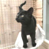 Rescue cat Rachel from RSPCA – Macclesfield, South East Cheshire & Buxton, needs a home