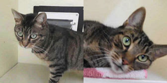 Rescue cats Tom and Dick from RSPCA Stapeley Grange, Nantwich, Cheshire, need a home