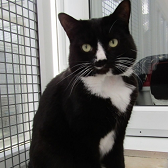 Rescue cat Prince from Thanet Cat Club, Kent, needs home
