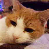 Rescue Cat Ben, Homeless Cats Rescue, Luton needs a home