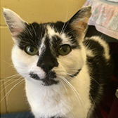Rescue cat Coco from Blue Cross - Cambridge, Bedfordshire, Essex, Hertfordshire, Norfolk, Cambridgeshire, Northamptonshire & Suffolk, needs a home