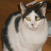 Rescue cat Cookie from Belfast Animal Rescue, County Down, County Antrim, Belfast, needs a home