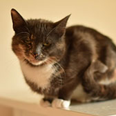 Rescue cat Sasha from All Animal Rescue, Southampton, Hampshire, needs a home