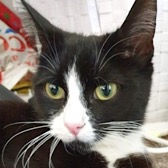 Rescue Cat Mabel from Lina's Cat Rescue, Derby, needs a home