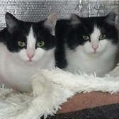 Rescue cats Skye and Pippa from Pawprints Cat Rescue, Bradford, needs home