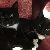 Rescue cats Albert and Arthur from Animal Krackers, Sunderland, Durham and Tyne & Wear, need a home